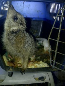 This meerkat lived in a filthy cat carrier when not used in shows and parties